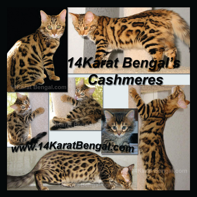 Click Here for 14Karat Bengal Cashmere - long haired Bengal Cats and Bengal Kittens