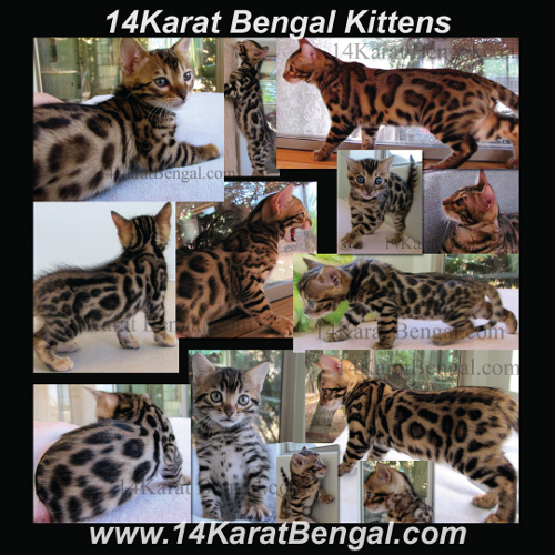 Click Here for 14Karat Bengal Kitten Page