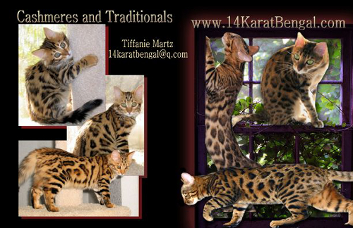 14Karat Bengal Cat Cattery Breeder of Traditional & Cashmere Bengal Cats & Bengal Kittens