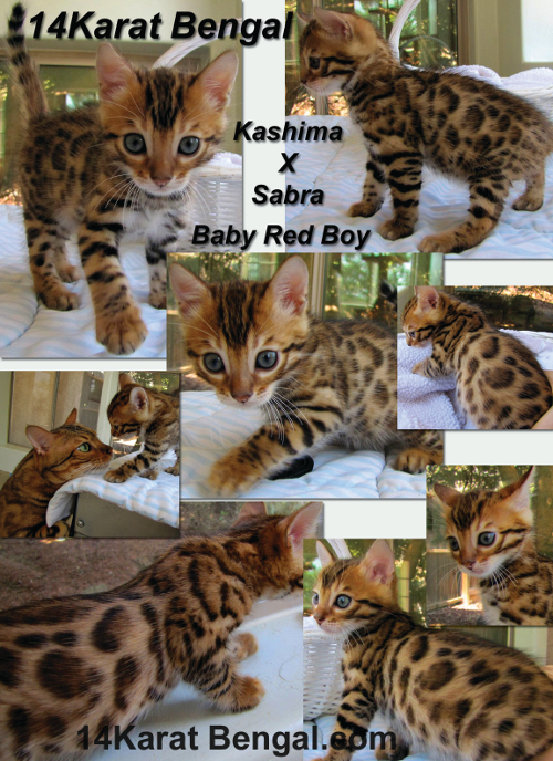 14Karat Bengal Kitten reserved for Nathan in Phoenix AZ