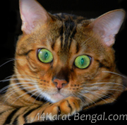 Kingsmark Sakia of 14Karat Bengal Cat Cattery