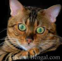Feeding the Best, most Healthful Cat Food to my Bengal cats and Bengal kittens is very important to me at 14Karat Bengal!