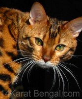 IndiaInk Sakima of 14Karat Bengal - Bengal Kittens for sale in AZ