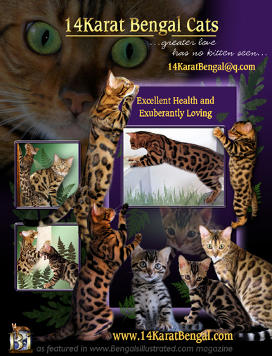 14Karat Bengal Cat and Bengal Kittens of AZ