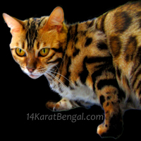 14Karat Bengal Cat Queens
