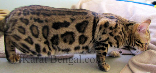 Bengal Marble Sheeted Top Pet Bengals Variety Of Bengals