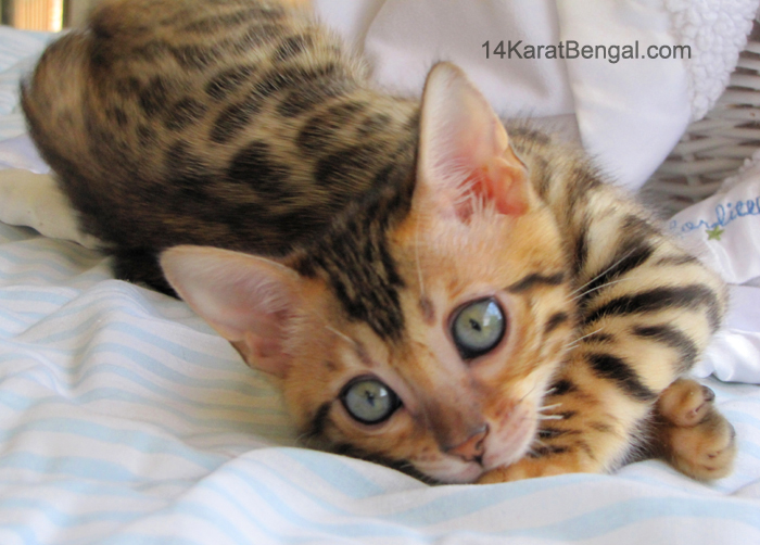14Karat Bengal Kitten Available
