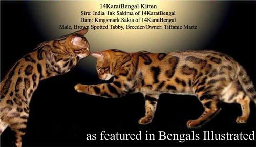 14Karat Bengal Top Quality Bengal Kitten Featured in Bengals Illustrated