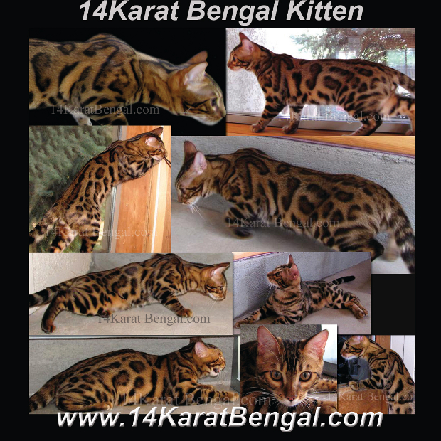 14Karat Bengal Cats and Bengal Kittens of AZ - Top Quality Bengal Kittens in AZ