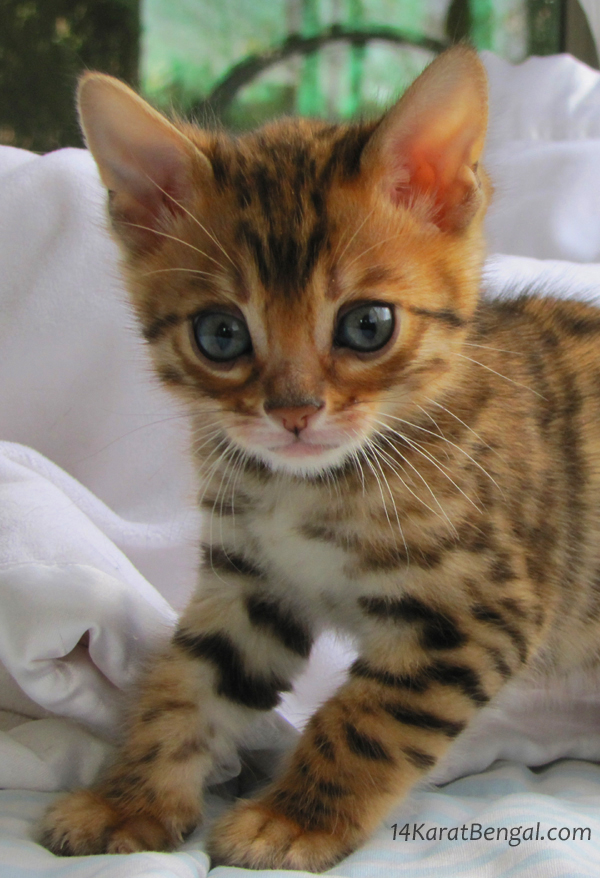 A Bengal Cat For Sale Bengal Kittens ...