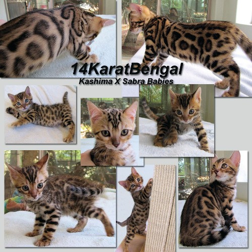 Featuring All of Kashima's & Sabra's Kittens Produced - Top Quality, Exuberantly Loving & Very Healthy