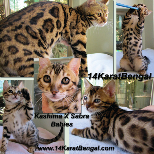 14Karat Bengal Kittens  - Top Quality, Healthy Bengal Kittens of AZ