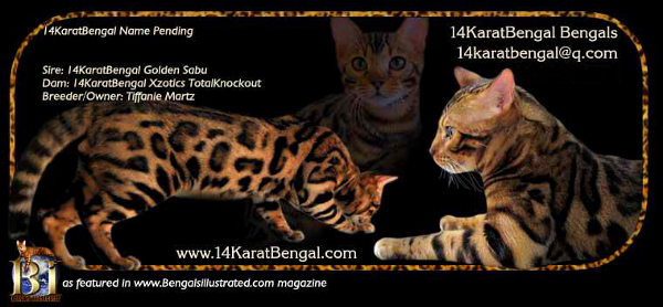 Top Quality 14Karat Bengal Kitten of AZ - Featured in Bengals Illustrated as Outstanding Bengal Kitten