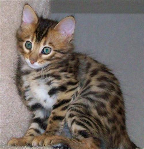 Savannah Cat Dog Friendly